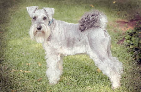 grooming schnauzer friends south africa community